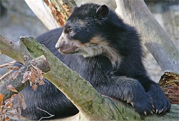 Baby spectacled bear