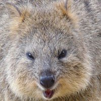 adaptations of the quokka - compare and contrast quokka with other animal - quokkas can, have, are (with and without handwriting lines) - quokka web - kwl chart - crocodile adaptations - draw and label a habitat - true or false statements - a quokka as a pet writing - quokka writing paper.