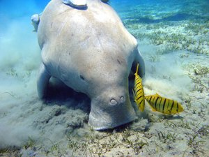 Sex with dugongs