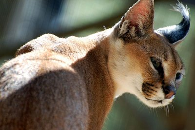 Caracal The Animal Facts