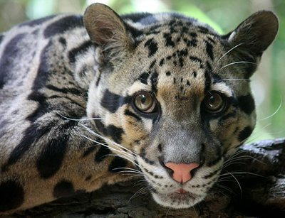 Close Up Of Face Clouded Leopards