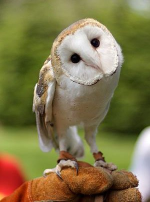 barn owl the animal facts