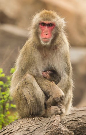 First Japanese Macaque Born At Lincoln Park Zoo