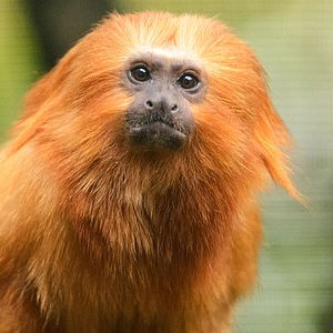 Golden Lion Tamarin | The Animal Facts