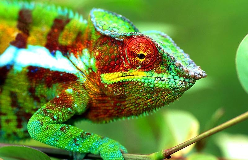 Panther Chameleon - The Animal Facts - Appearance, Diet, Habitat