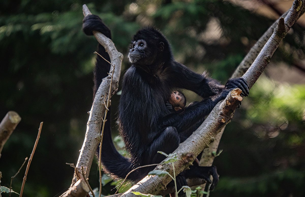 Spider Monkey Infant at Chester Zoo