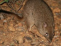 Brush Tailed Bettong (Woylie)