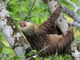 Hoffmann's two toed sloth