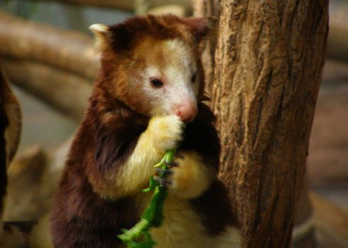 baby goodfellow's tree kangaroo