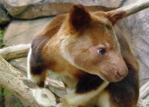 goodfellow's tree kangaroo