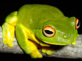 Australian red eyed tree frog