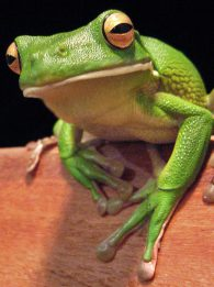 white-lipped tree-frog