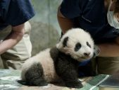 panda cub named smithsonian's national zoo