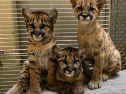 rescued mountain lion cubs oakland zoo