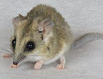 Fat Tailed Dunnart