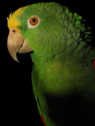 yellow-crowned amazon