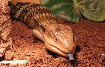 Eastern blue tongue lizard