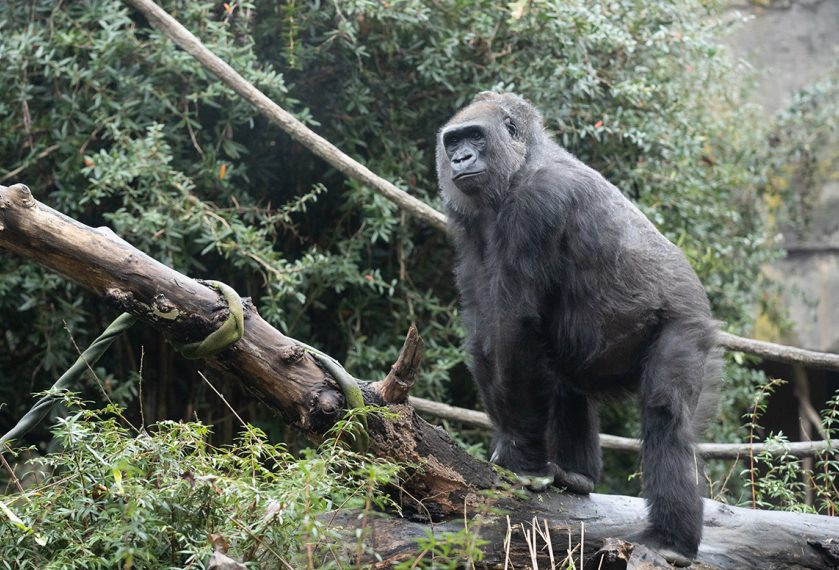 baby watch. gorilla expected at Woodland Park Zoo