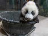 xiao qi ji the giant panda cub
