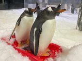 penguin chick naming sea life sydney