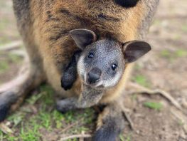 Swamp-Wallaby