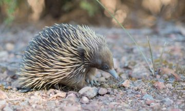 The echidna is a Monotreme