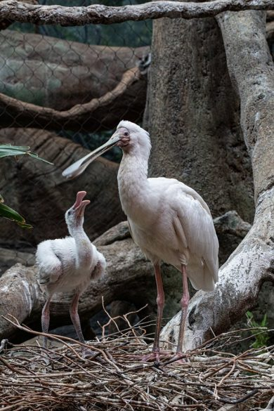 african spoonbill chick woodland park zoo
