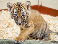 tiger cub cleveland metroparks zoo