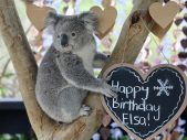 elsa the koala birthday