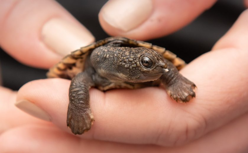 White Throated Snapping Turtle Hatchling Australia Zoo