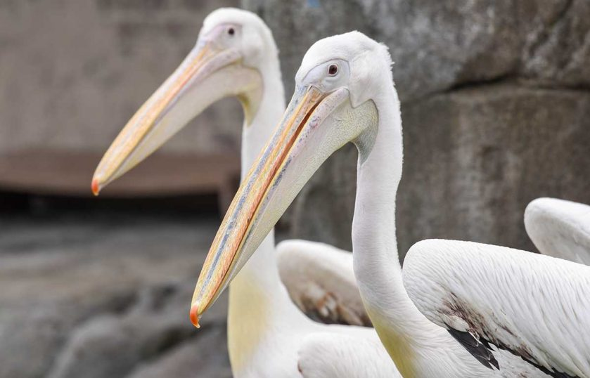 Great White Pelicans Maryland Zoo
