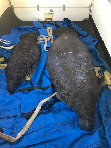 Rescued Manatees at the Columbus Zoo