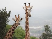 Giraffes New Home at Edinburgh Zoo