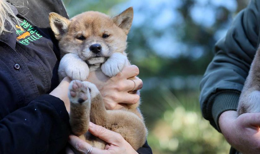 Lucky the dingo pup's new friend