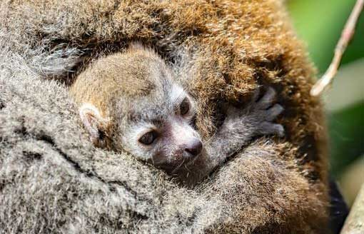 Baby Crowned Lemur Newquay Zoo