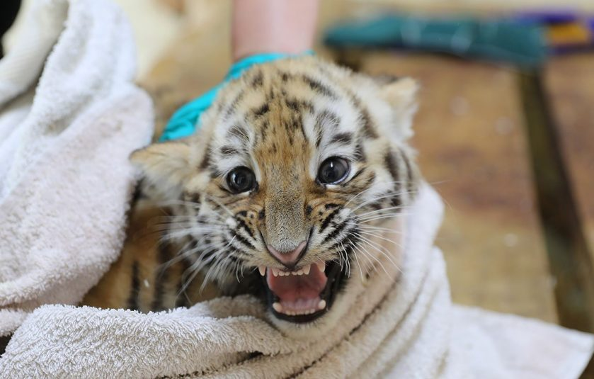 Tiger Cubs Vaccinated Highland Wildlife Park