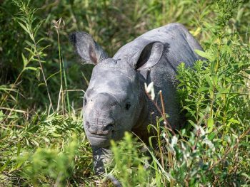 Asian one-horned rhino calf The Wilds