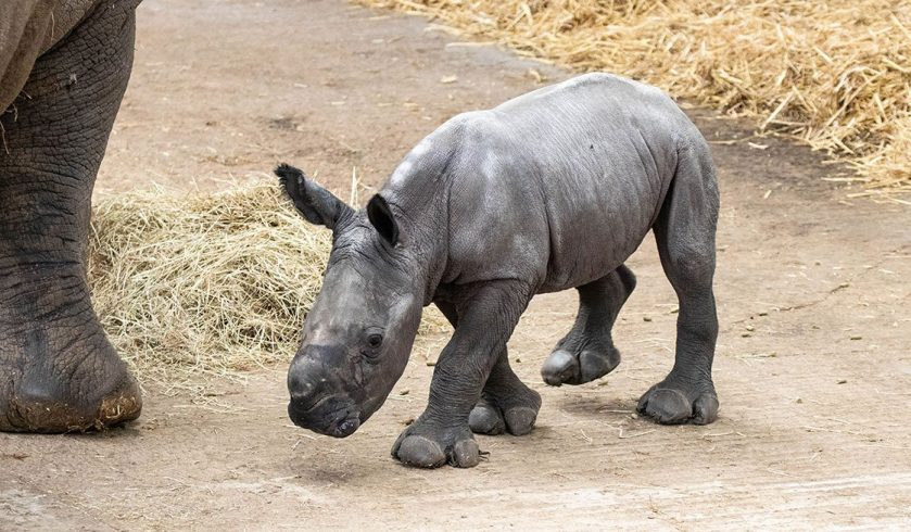 Baby Rhino Joins the Crash at ZSL Whipsnade Zoo