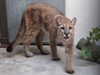 Mountain Lion Rescued by New York Wildlife Charities