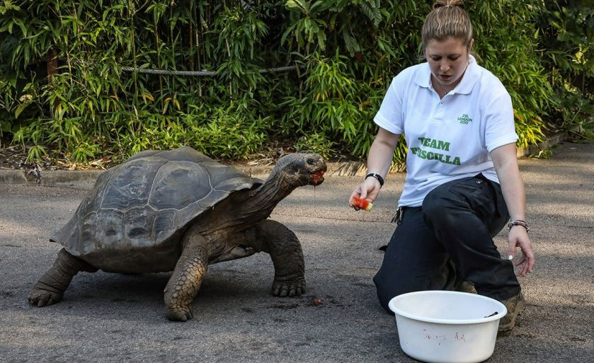 Galapagos Giant Tortoises Move Home at ZSL London Zoo