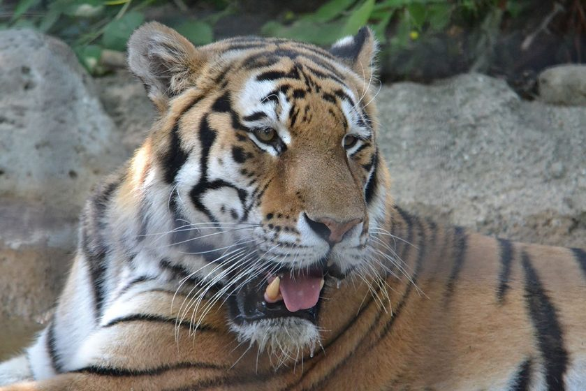 Timmy the Amur tiger at Potter Park Zoo