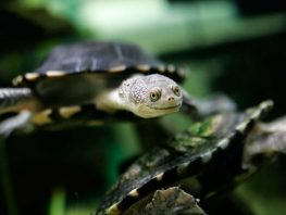 common snake-necked turtle