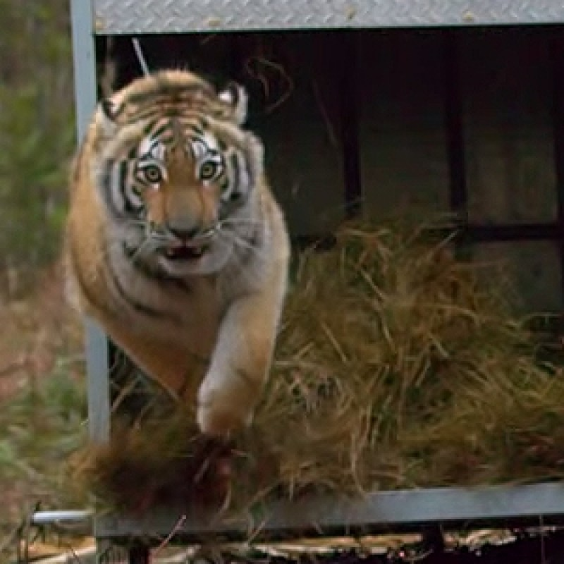 Amur Tiger Released Back Into The Wild