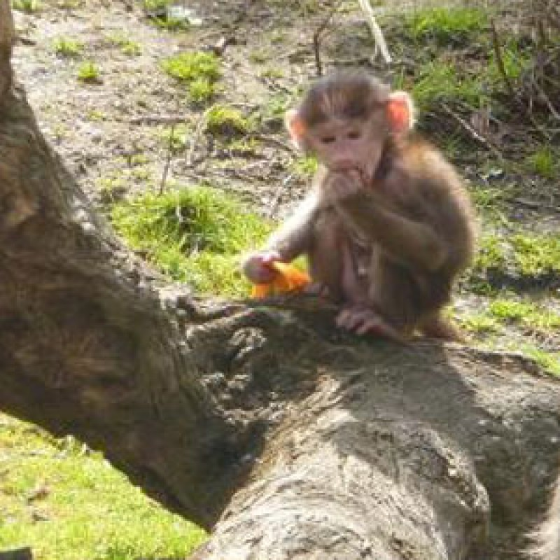 Baboon bounces back from a rough start to life