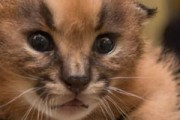 Oregon  Zoo's caracal kitten's are cute