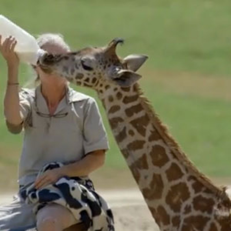 Giraffe calf being bottle fed at the San Diego Zoo Safari Park