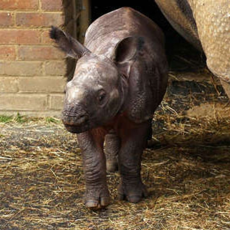 Meet Whipsnade Zoo's baby rhino to celebrate world rhino day