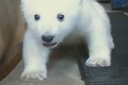 Knut the polar bear learns to walk