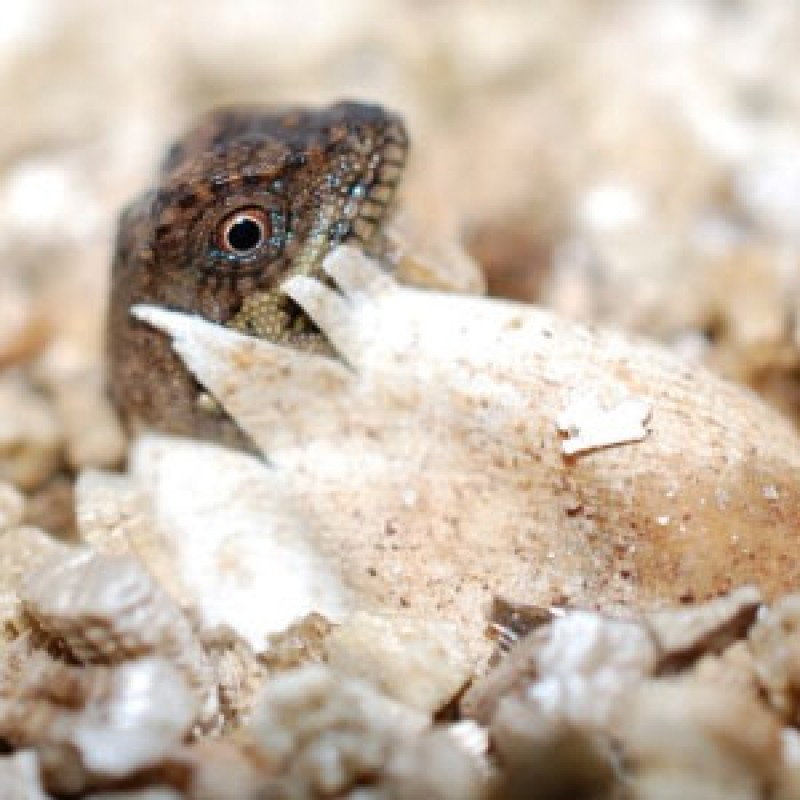 Egg-citing photos of lizards hatching shared by Chester Zoo