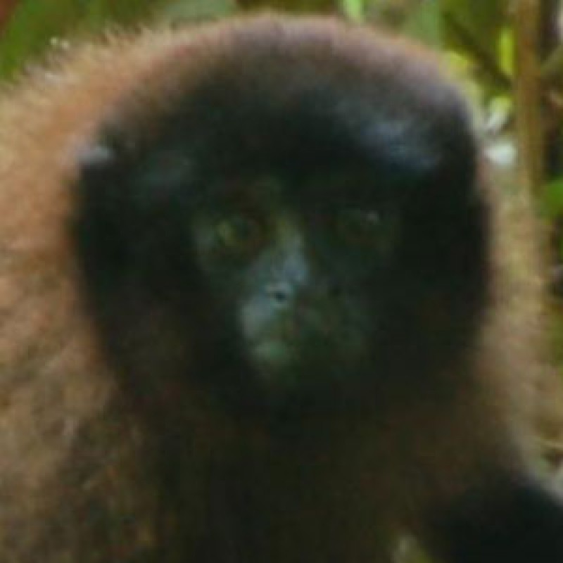 New titi monkey found in the forests of Peru